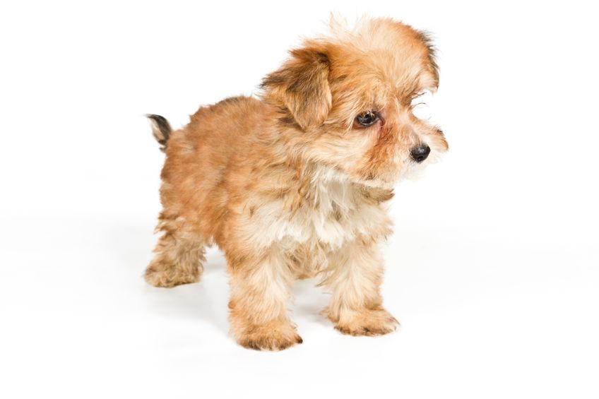 Yorkshire Terrier staying on white background
