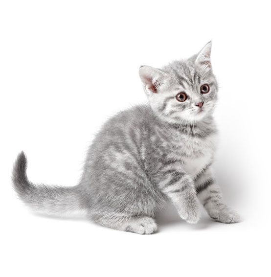 Marmoreal british kitten isolated on white